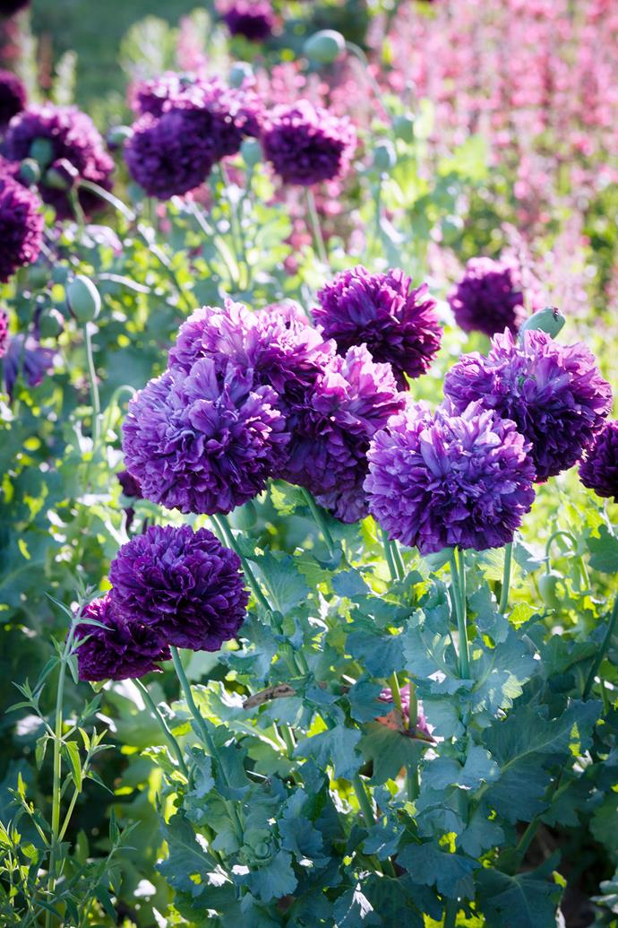Purple peony poppies in the afternoon sun.