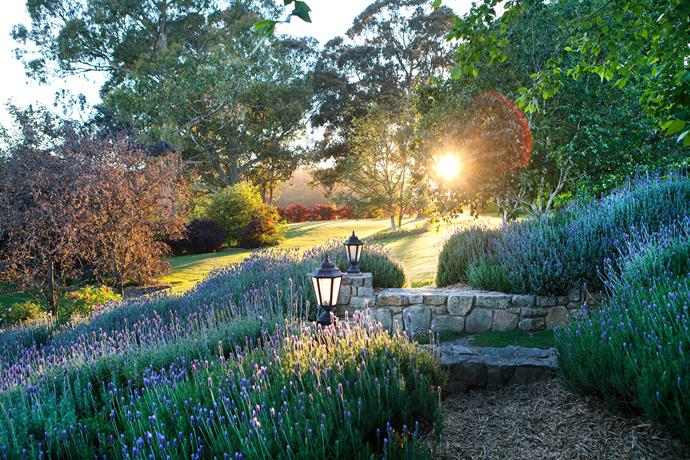Early-morning light reveals a multicoloured palette. A property this size allows for generous mass plantings, including swathes of French lavender and rows of purple-leafed Prunus cerasifera 'Nigra' and Malus ionensis 'Rubra'.