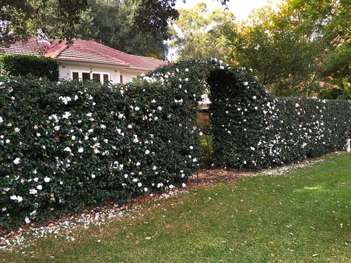 Create a sense of cottage charm with a flowering hedge like Sasanqua Camellia.