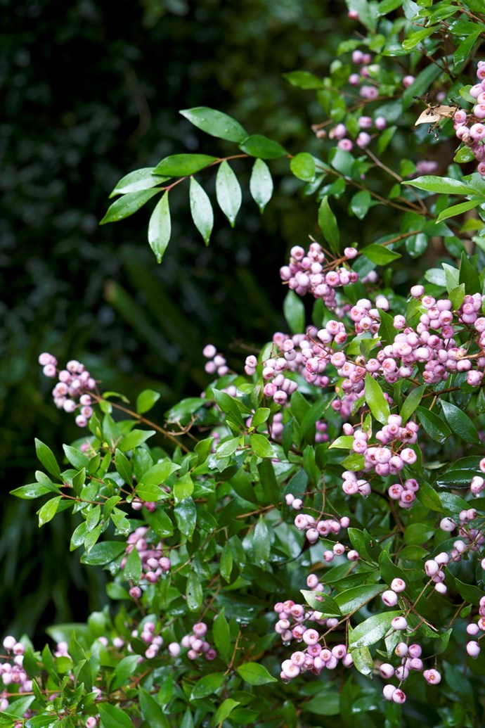 The dense nature of the foliage of the small leaved lilly pilly makes it suitable for hedging and topiary. You can also use the tasty fruit for jams.