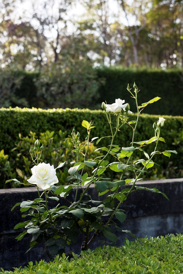 """White iceberg roses are contrasted against a manicured hedge in a [formal garden](https://www.homestolove.com.au/a-rocky-slope-becomes-manicured-garden-6587