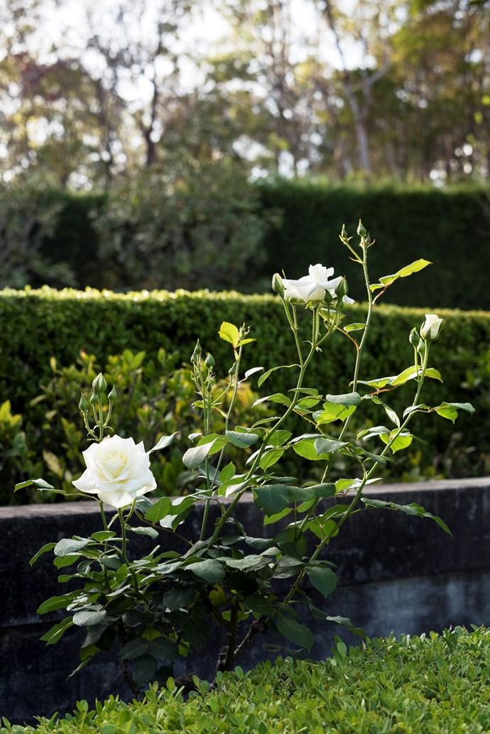 A profusion of white iceberg roses.