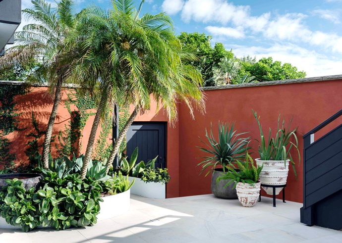 This 10x5m north-facing walled courtyard in Sydney receives little winter sun but bakes in summer. In the pots are dragon tree, foxtail fern (*Asparagusdensiflorus 'Myersii'*) and *Neomarica caerulea*. *Photo: Nicholas Watt*