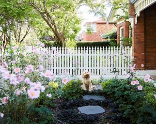 Labradoodle in front of a white picket fence