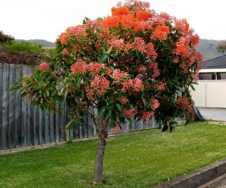 Dwarf flowering gum planted next to a driveway