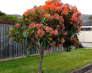 Dwarf flowering gum planted next to a driveway