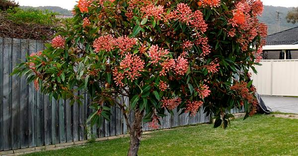 5 Fast Growing Shade Trees Australia Australian House And Garden