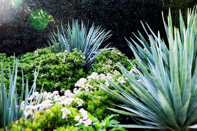 Mounded spikes of Dracaena draco are like living sculptures emerging from a jade carpet.