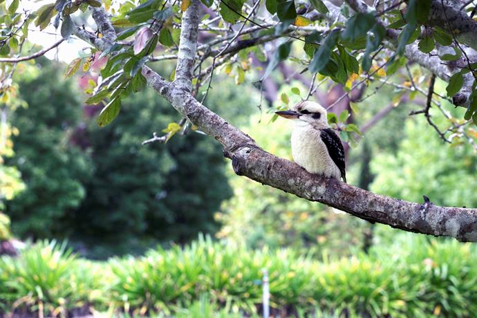"Kookaburras are just one of many visiting [native bird](https://www.homestolove.com.au/attracting-native-birds-to-your-garden-australia-6368|target=""_blank"") species."