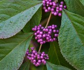 5 beautiful berry plants and how to grow them