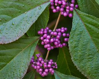 Close up of beautyberry clusters and their foliage
