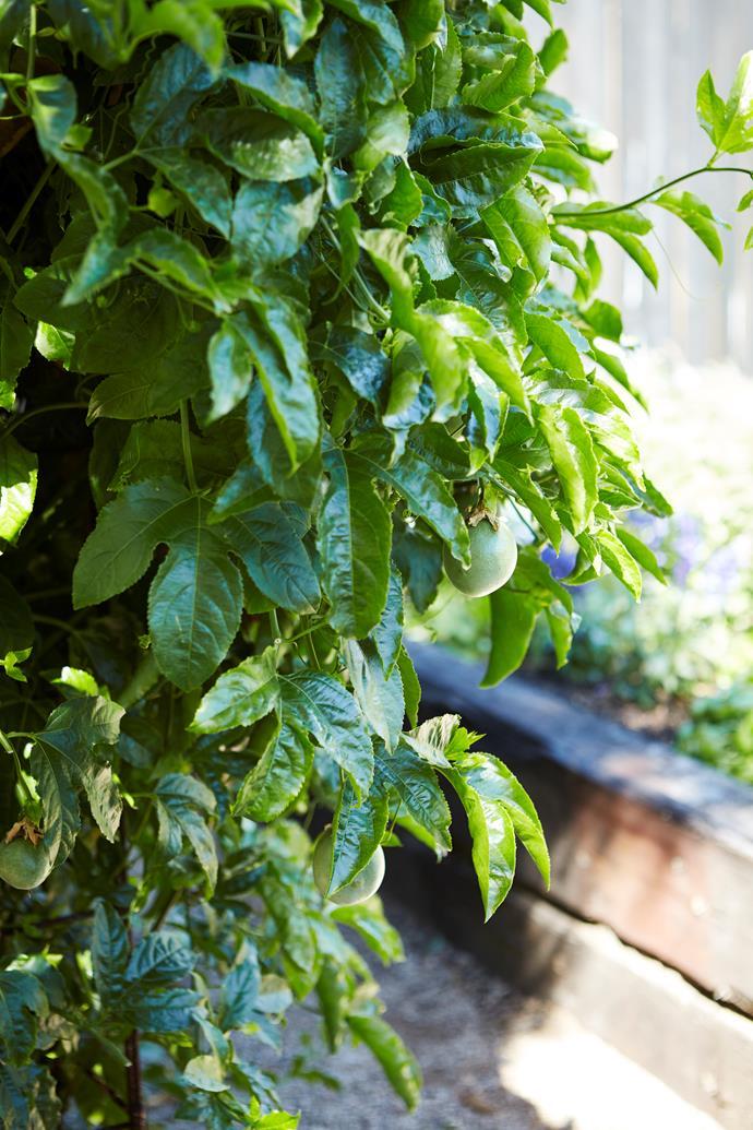 The prolific passionfruit vine.