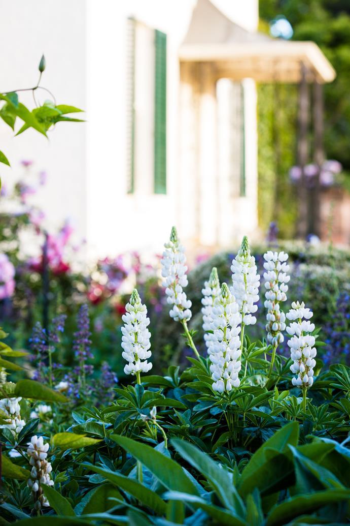 Elegant white lupins.