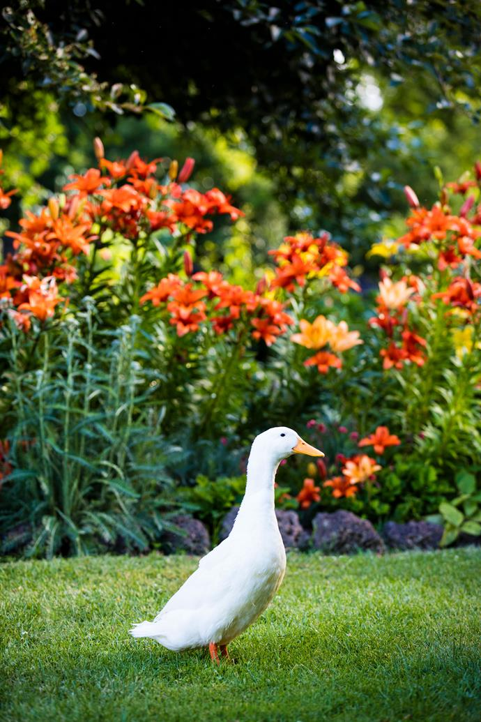 "Brickendon's resident ducks and turkeys, including Indian runner duck Brian, roam freely in the garden. ""Brian is getting on in years so he tends to stay close to home,"" says Louise."