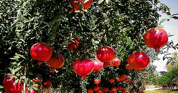 10 Fast Growing Edible Hedge Plants Australian House And