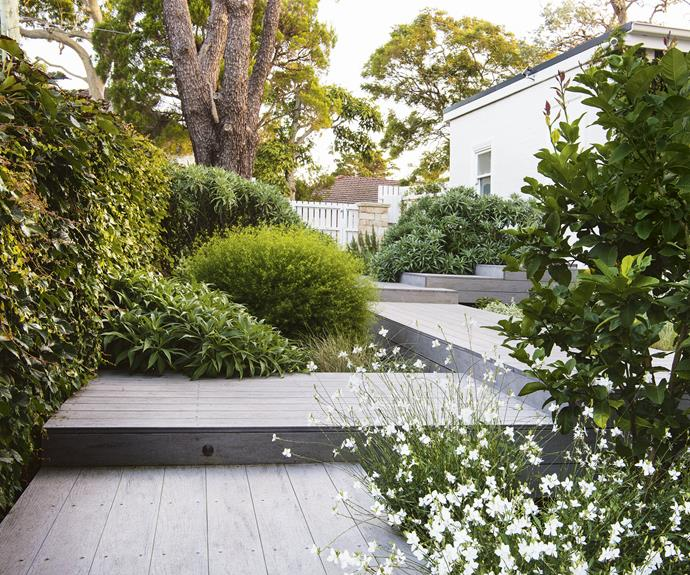 "**Front garden** The path and steps to Freya Reid's Sydney front door are ModWood composite decking in a Silver Gum finish. ""I like that ModWood has an element of recycling to it, and it's fairly indestructible,"" says Freya. A giant cypress tree overlooks plantings that include *Echium candicans* 'Pride of Madeira', *Parthenocissus tricuspidata* 'Boston ivy', *Westringia longifolia* 'Long Leaf', *Citrus limon* 'Eureka' and, in the foreground, *Gaura lindheimeri* butterfly bush."