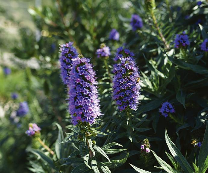 "*Echium candicans* 'Pride of Madeira'. *Photo: Peleq/[iStock](https://www.istockphoto.com/au|target=""_blank""