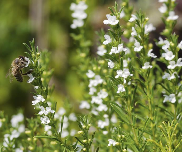 "*Thymus vulgaris* thyme. *Photo: PeterHermesFurian/[iStock](https://www.istockphoto.com/au|target=""_blank""|rel=""nofollow"").*"