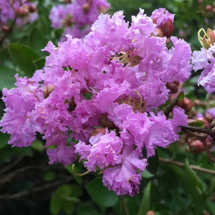 Crepe Myrtle are great for injecting some colour into your garden.