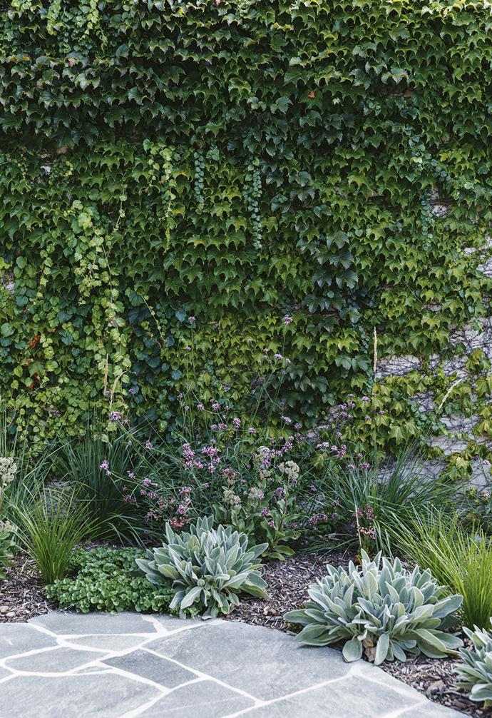 **Wall** Boston ivy softens the wall while *Verbena bonariensis* adds colour and *Lomandra* 'Lime Tuff' provides contrast.