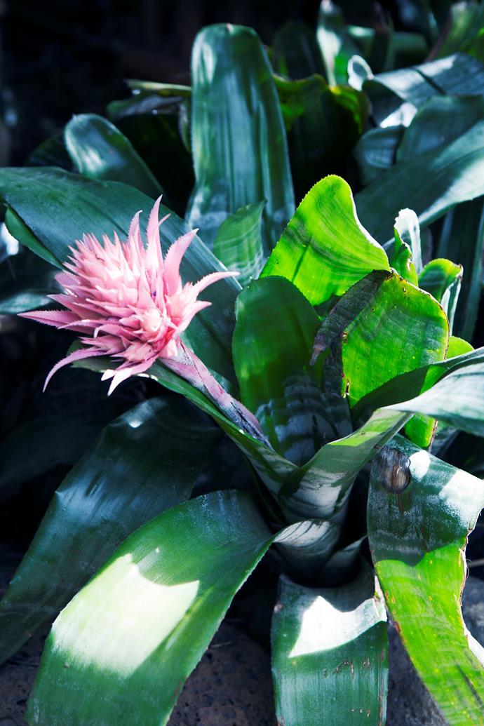 Pink vase plant (Aechmea fasciata).
