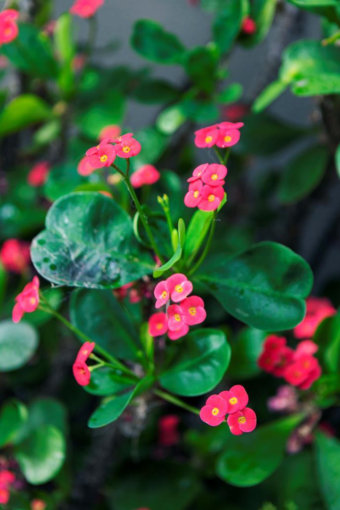 Euphorbia 'Lipstick'.