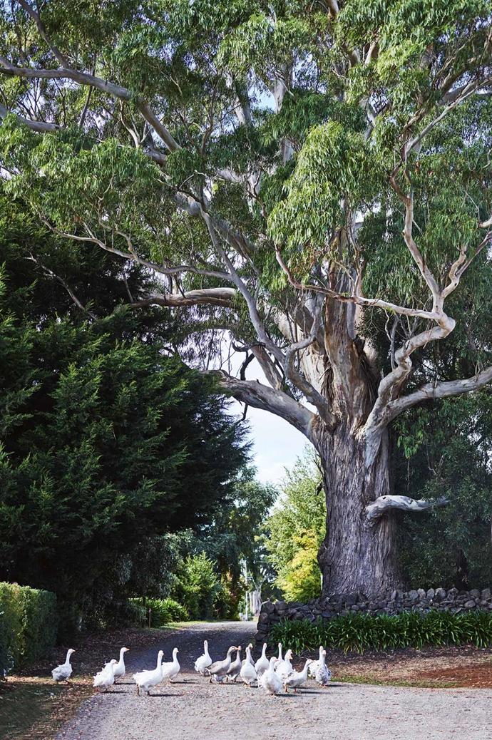 Geese wander into the driveway, shaded by a towering manna gum tree, thought to be hundreds of years old.