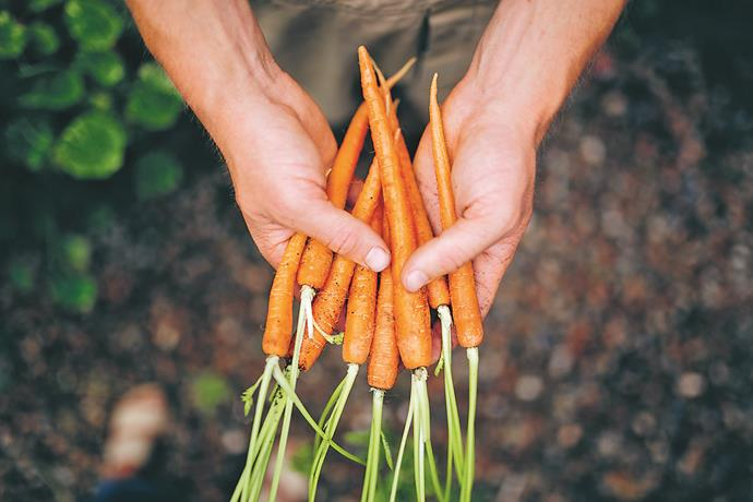 Carrots (Daucus carota; apiaceae) may be affordable at your local supermarket, but they're much tastier when grown at home.