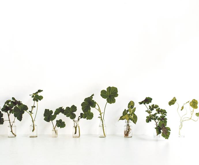 Place your stem cuttings in chic glass bottles and watch them root. Unlike cut flowers, they'll just keep on growing! And once they're ready to be propagated, simply fill your vases with a new bunch of cuttings and watch your indoor forest quickly multiply. | Photo: Luisa Brimble
