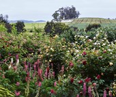 Heritage roses abound in this Tasmanian garden