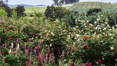 Heritage roses abound in this Tasmanian garden