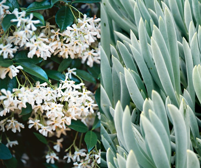 **Plant carefully** For landscaping purposes look into hardy plants that will thrive around the pool. On the left, Star jasmine (*Trachelospermum jasminoides*) can withstand splashes from chlorinated water and on the right, Blue chalk sticks (*Senecio serpens*) is an easy-care succulent can be used as a groundcover.