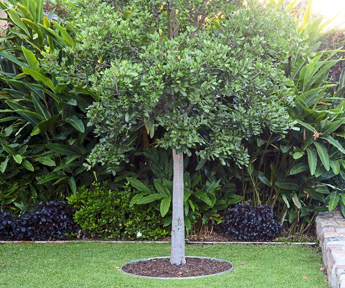 **Back garden**A tuckeroo tree (*Cupaniopsis anacardioides*) stands proud on the lawn.