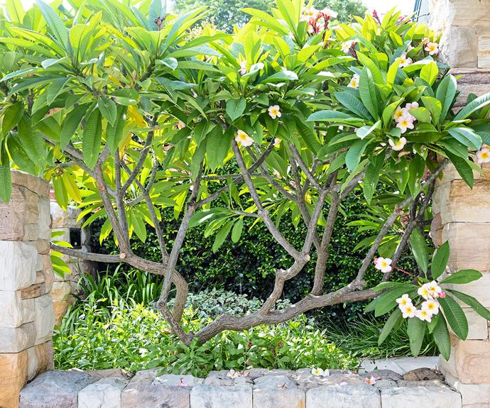 **Front garden** A flourishing frangipani adds sculptural interest within the sandstone-clad garden bed.