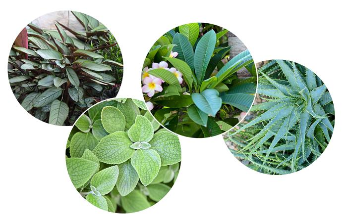 **Plant palette** Sculptural shapes meet a mix of grey and green foliage for a textural look. **Our picks** (left to right) Never never plant (*Ctenanthe* 'Grey Star'), Silver plectranthus (*Plectranthus argentatus*), Frangipani (*Plumeria sp*.), Aloe (*Aloe sp.*).