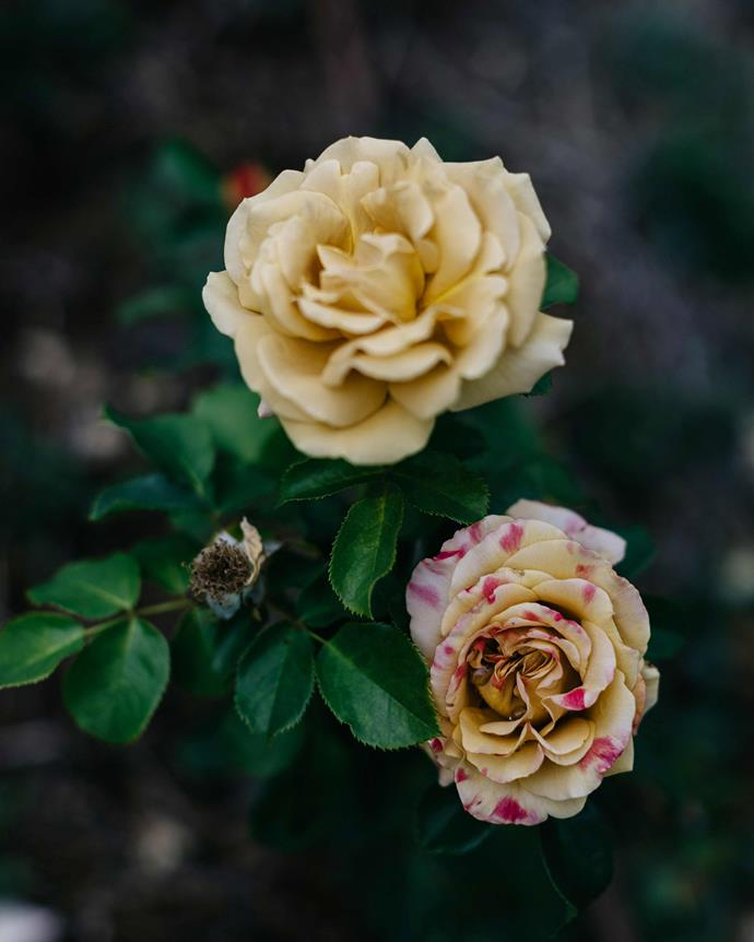 A 'Honey Dijon' rose. *Photography: Marnie Hawson*