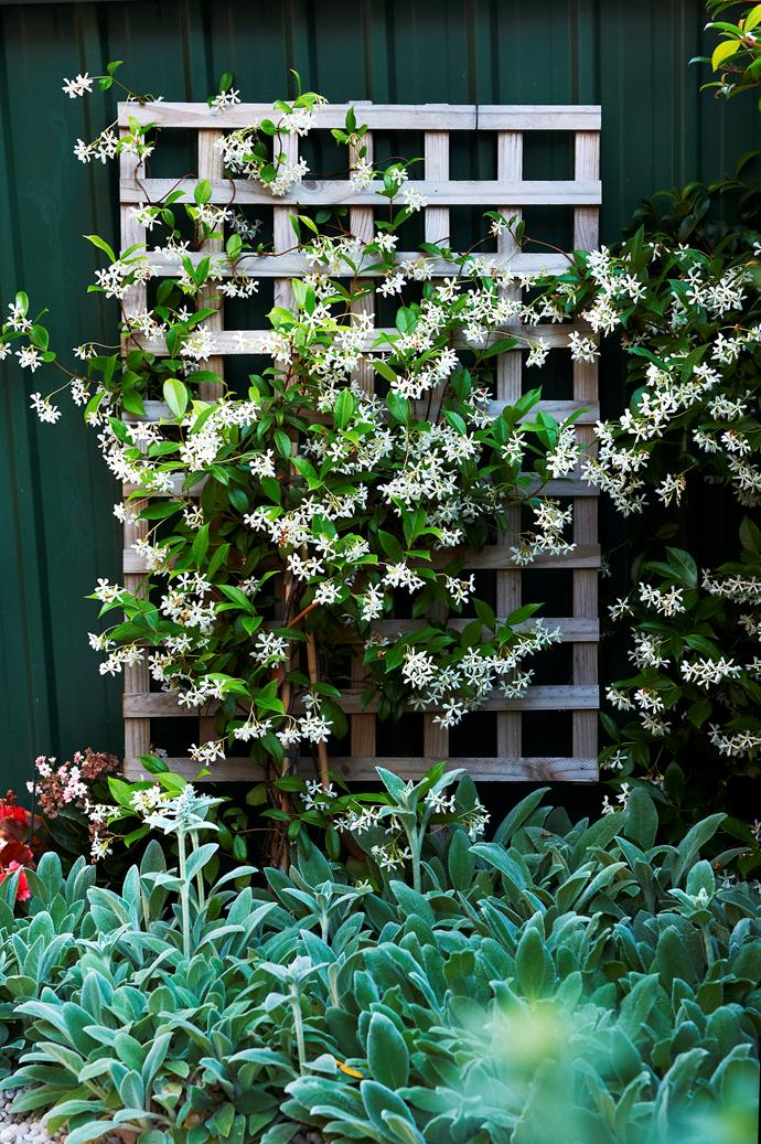Star Jasmine is a fast-growing climbing plant with a sweet-smelling fragrance. *Photo: Brigid Arnott / bauersyndication.com.au*