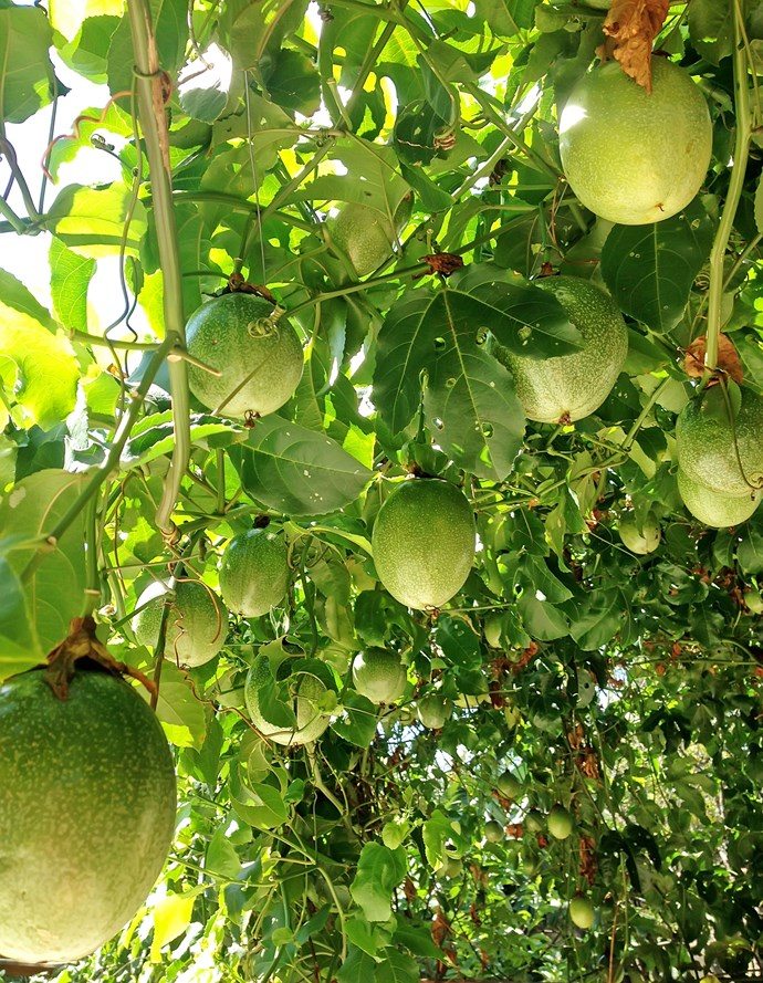 Even though passionfruit grow on vines, it's still possible to grow them in a pot.
