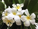How to grow frangipani
