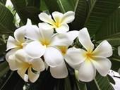 How to grow frangipani