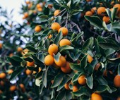 How to deal with citrus pests