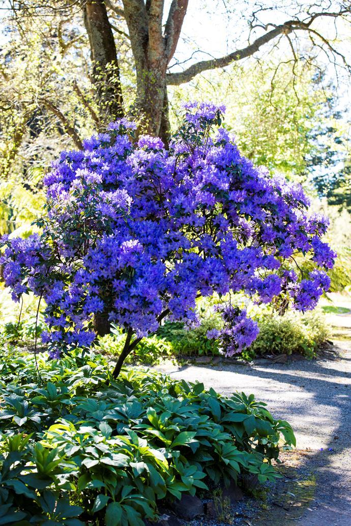 A brilliant Rhododendron augustinii.