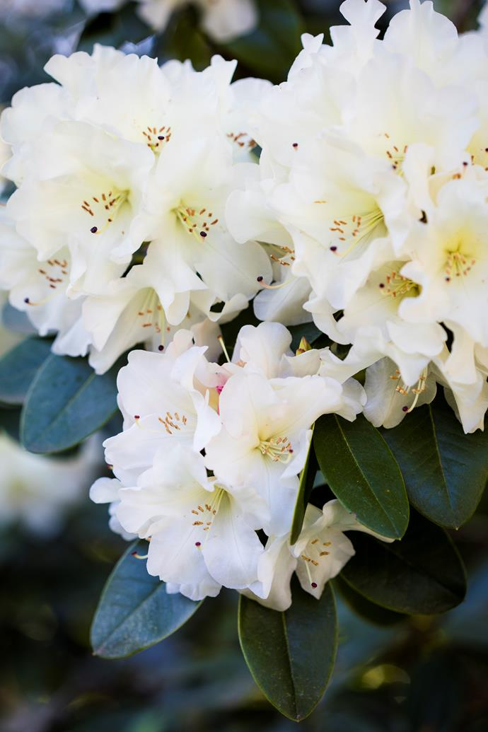 One of Beechmont's many white rhododendrons.