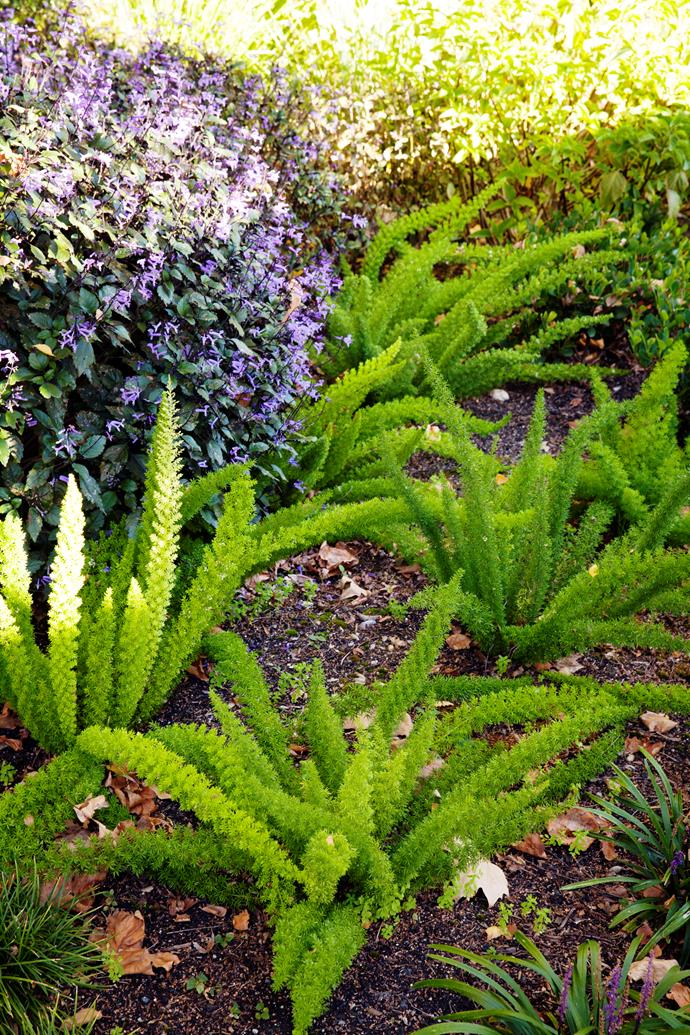 The sculptural form of foxtail fern (Asparagus densiflorus 'Myersii').