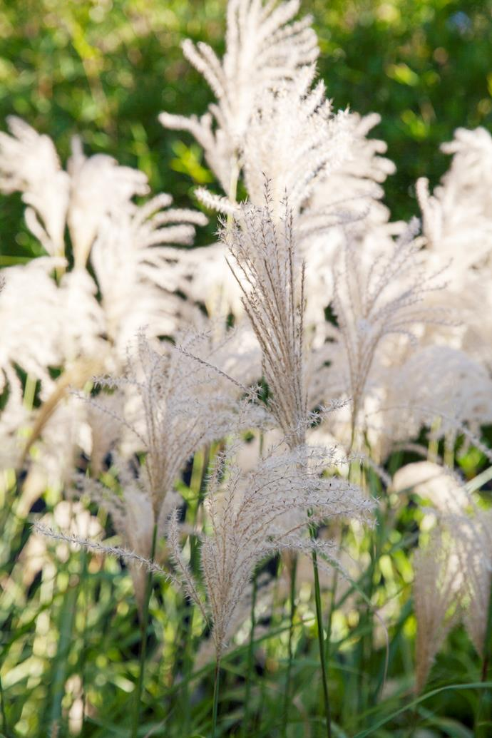 Feathery flowerheads of Miscanthus sinensis.