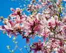 How to grow and care for magnolias