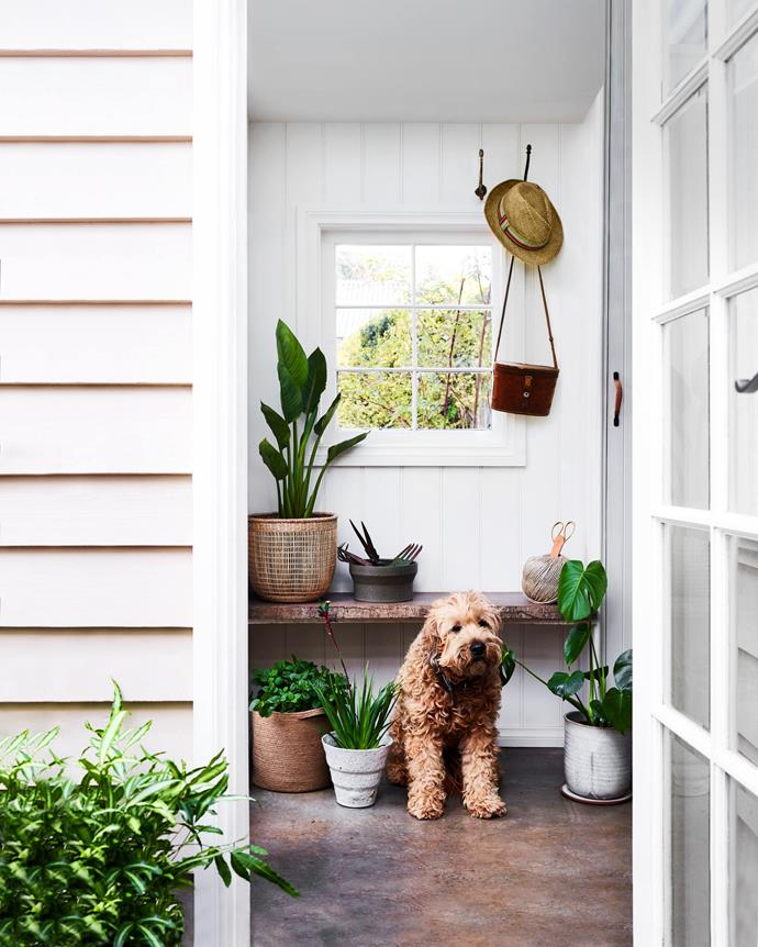"**ALRIGHT WITH ALL-WHITE** <br></br> Nothing complements an all-white exterior or interior than a cluster of bright green foliage. Here, Keegan the wheaten terrier sits in the [mud room](https://www.homestolove.com.au/mudroom-design-6620|target=""_blank"") decorated with indoor plants in a mix of woven baskets and ceramic planters.  <br></br>  Plants featured here include: red and green kangaroo paw *(Anigozanthos menglesii)* monstera *(Monstera deliciosa)*, giant bird of paradise *(Stretlitzia nicolai)* and common mint *(Mentha cordifolia)*."