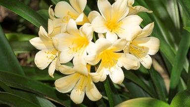 How to grow clivia from seeds