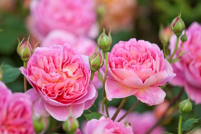 A type of David Austin rose, Boscobel pairs pretty blooms with a sweet perfume.