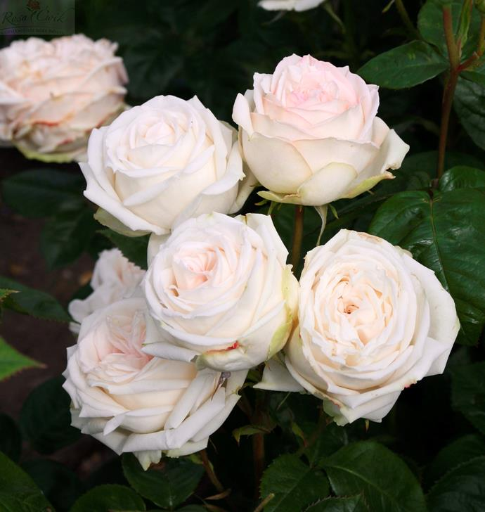 Madame Anisette roses have a wonderful anise fragrance.